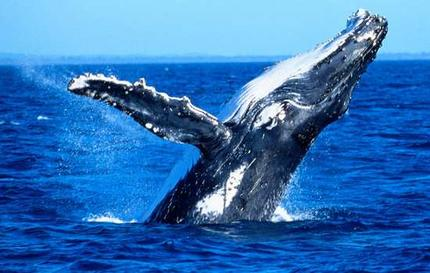 humpback whale Why Whales Matter