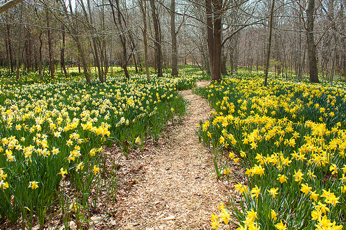Daffodil Field at Parsons Reserve – New Bedford Guide