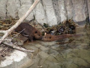 Buttonwood park Zoo Baby Beavers
