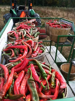 Silverbrook Acushnet veggie harvest