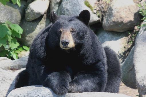 black-bear-buttonwood-park-zoo