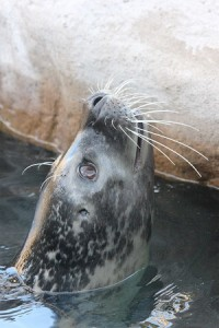 seal-buttonwood-park-zoo