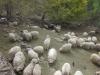 argentina-sheep