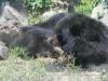 buttonwood-park-zoo-bears