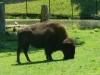 buttonwood-park-zoo-bison