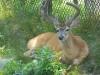 buttonwood-park-zoo-deer2