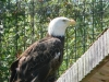 buttonwood-park-zoo-eagle