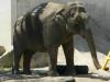 buttonwood-park-zoo-elephant
