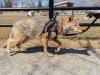 Cody-coyote-new-bedford-zoo5.jpg