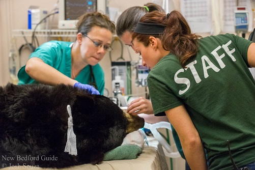 Bear getting a root canal at the New Bedford Buttonwood Park Zoo.