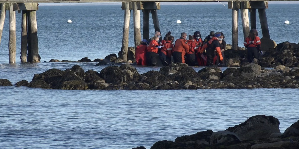 A pilot whale euthanized in Clark's Cove on Saturday